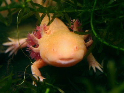 Mexique : l'axolotl en voie de disparition à cause de la pollution