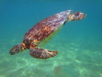 Akumal : la baie des tortues au large du Mexique